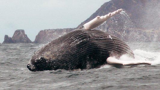 Plitsch und platsch! Wale lassen das Wasser spritzen.
