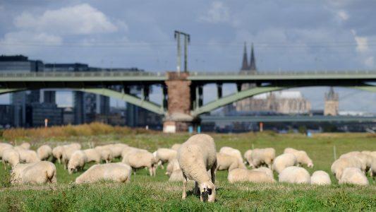 Schaf sein in Köln am Rhing