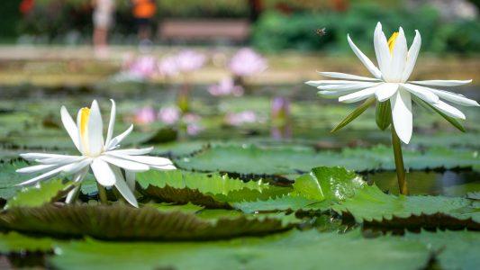 Schwimmende Schönheit – Seerosen
