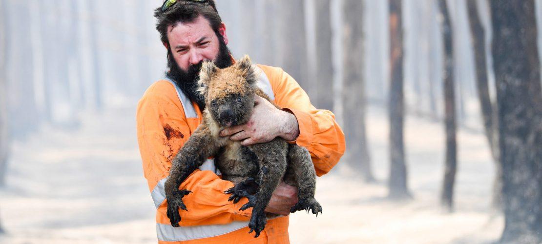 Koalas in großer Not