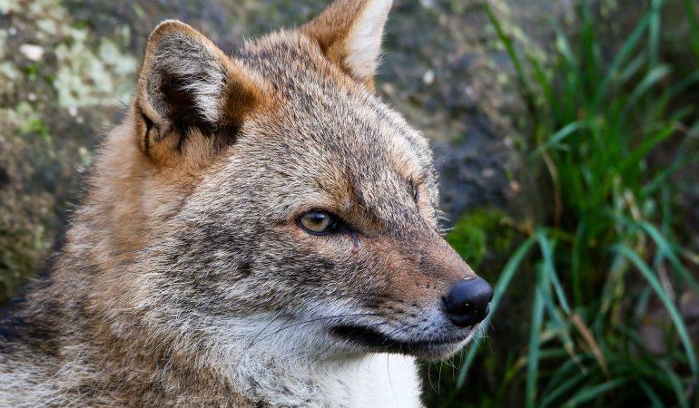 Weder Fuchs noch Wolf