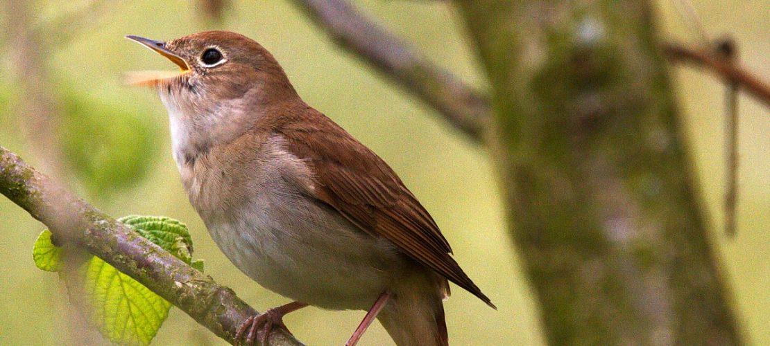 Der Superstar der Vogelwelt