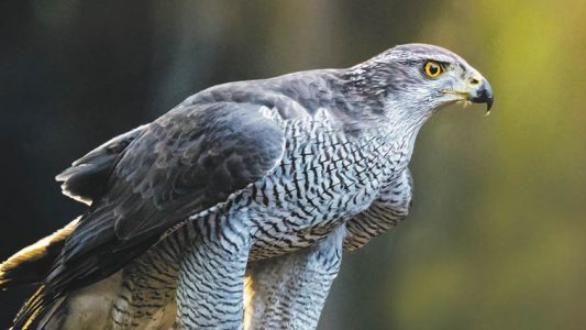 Tierische Jagdflieger